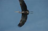 Blue heron in flight in heron rookery on Rondeau Bay marsh
