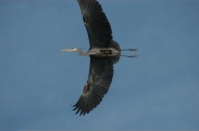 Blue heron in flight in heron rookery on Rondeau Bay marsh